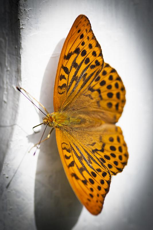 Pärlemorfjälil